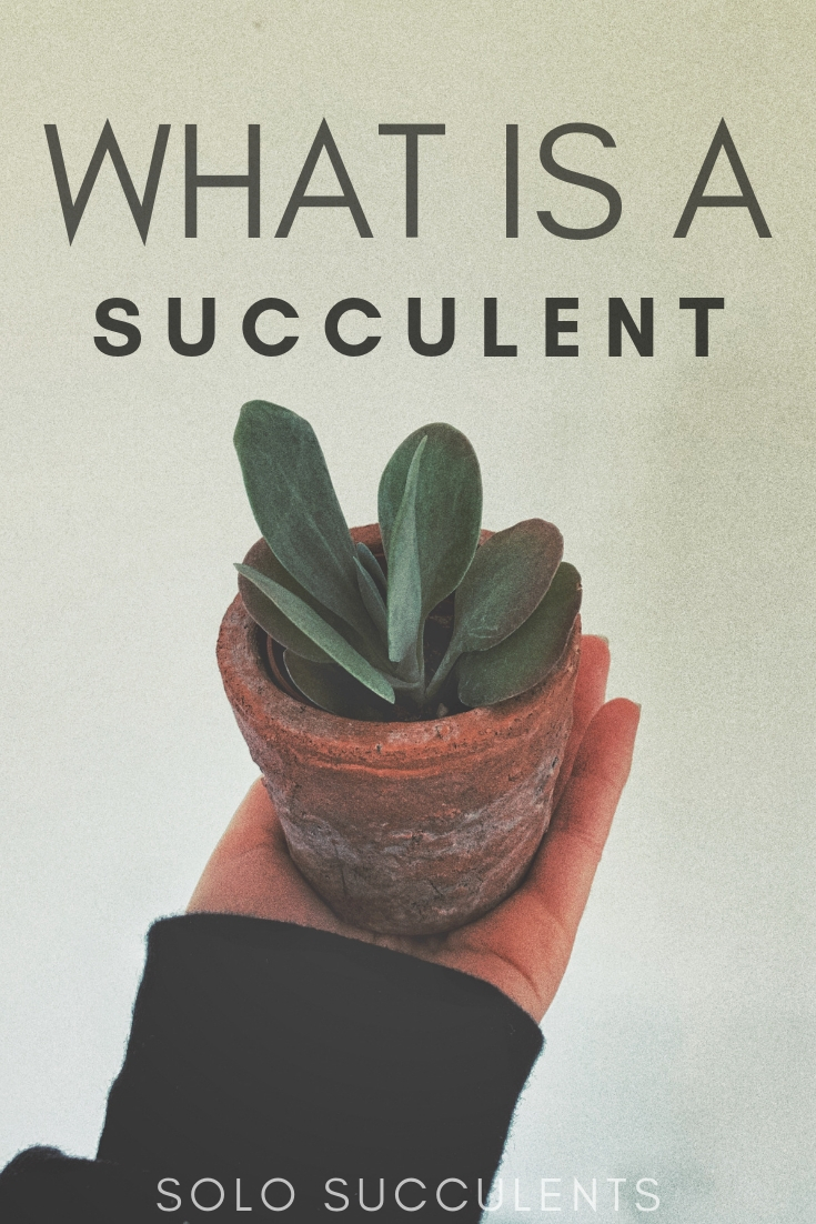 What is a succulent? Your guide to succulent plants, as well as the difference between a succulent and a cactus
