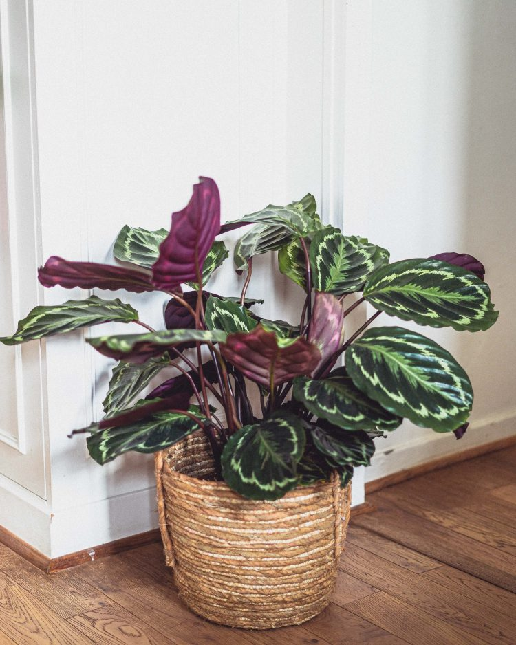 Calathea Roseopicta (Rose Painted Calathea) Care Guide & Tips (including a calathea propagation guide)