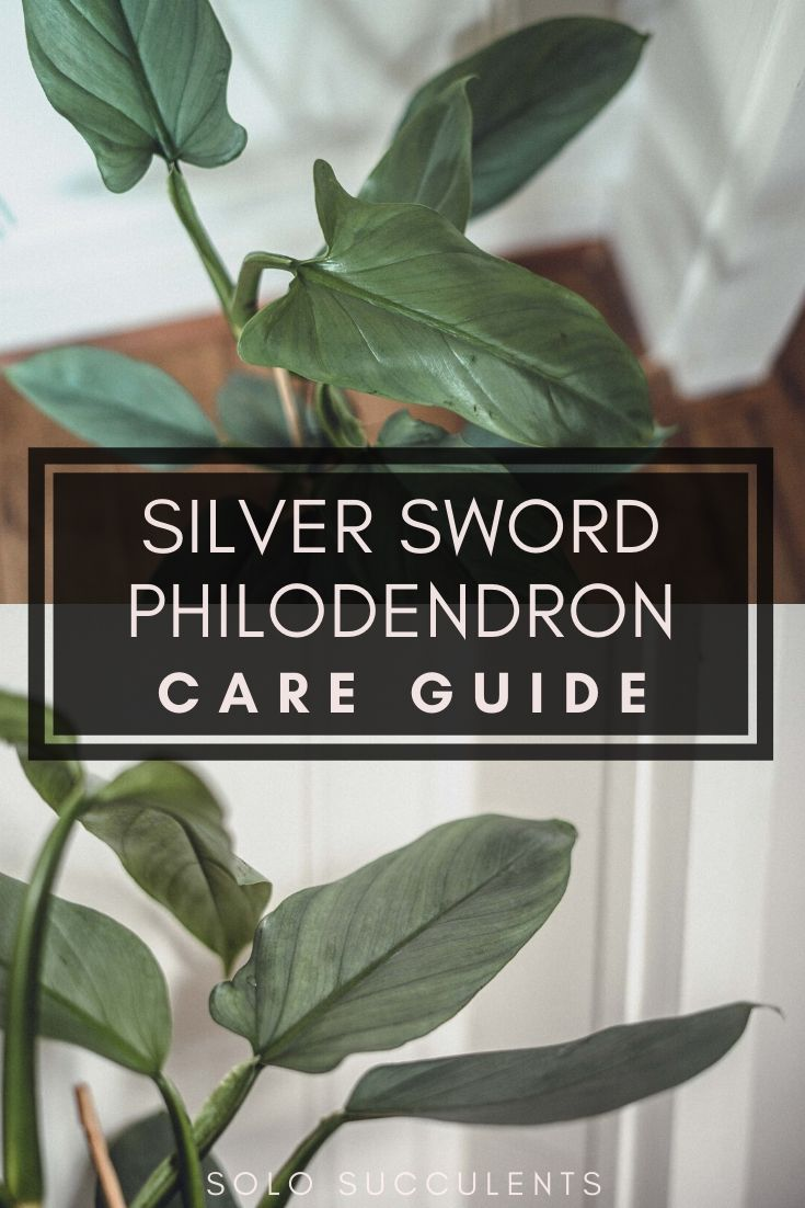 Philodendron Hastatum (Silver Sword Philodendron): Care Guide & Tips for growing a healthy philodendron in your indoor garden