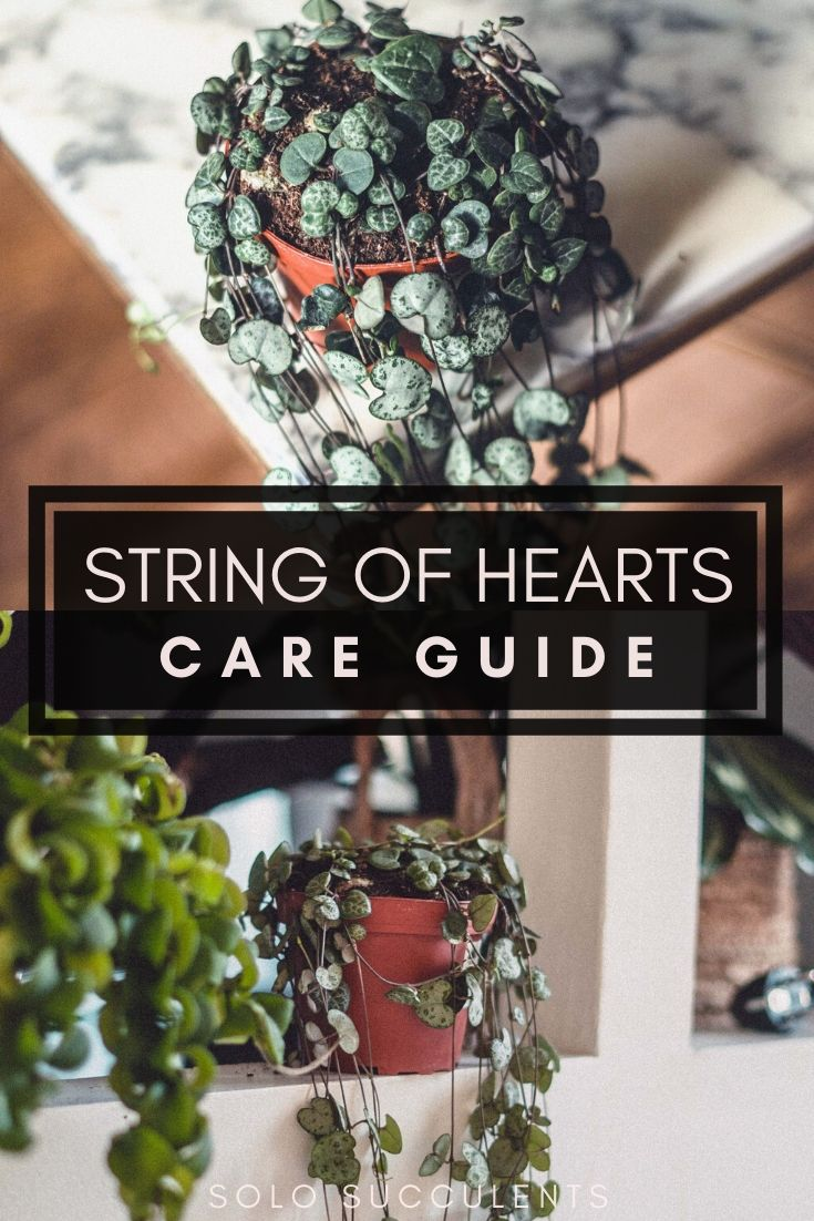 String of Hearts (Ceropegia Woodii): Care Guide, Propagation & Tips. How to care for the rosary vine vining plant