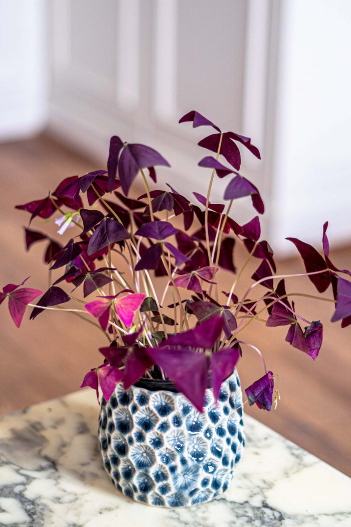 Oxalis Triangularis (False Shamrock/ Love Plant): Care Guide, Tips & Propagation