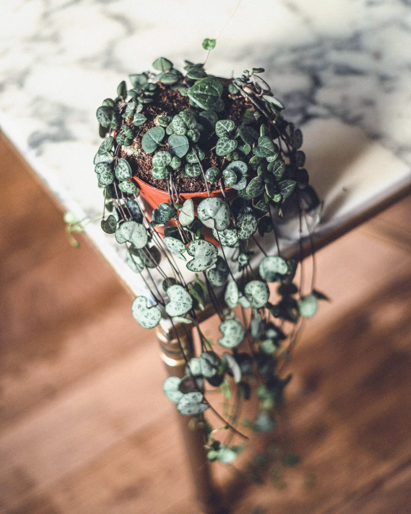 String of Hearts (Ceropegia Woodii): Care Guide, Propagation & Tips