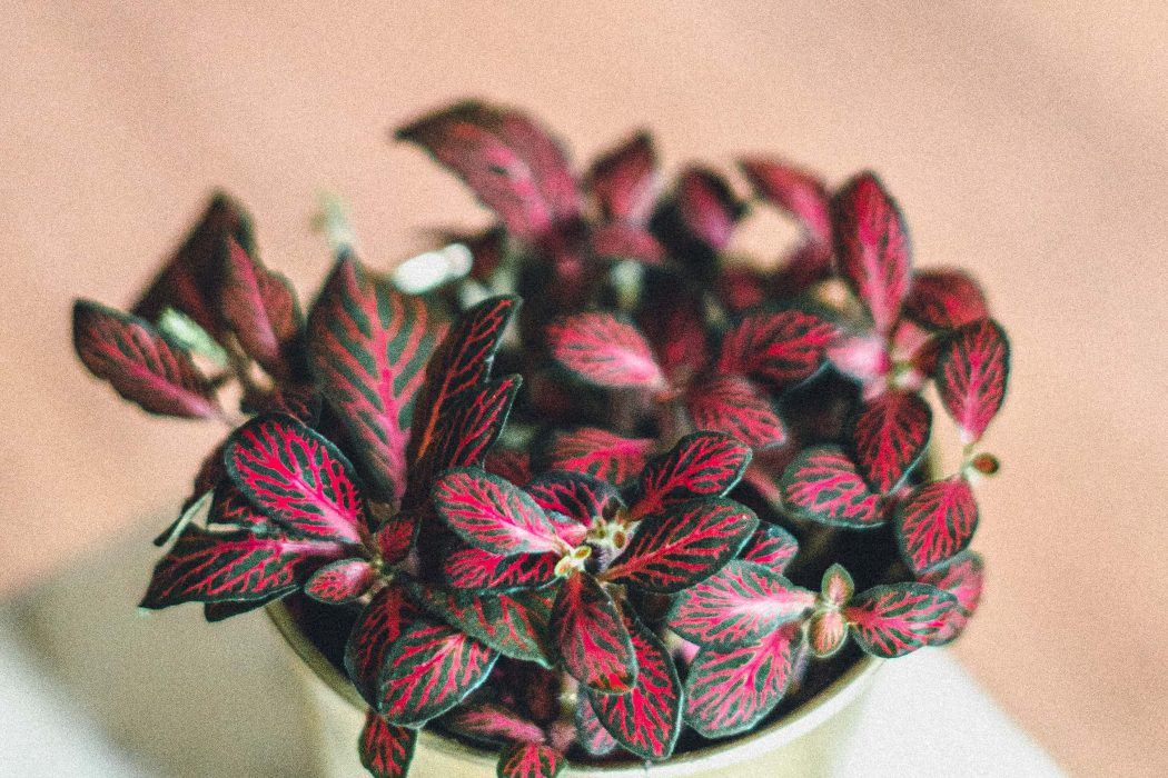 Fittonia (Nerve Plant): Care Guide, Tips, Watering & Propagation