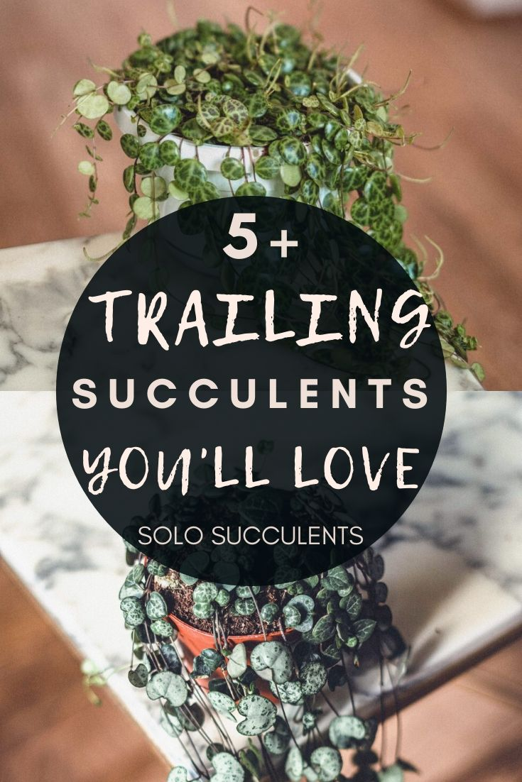 5+ Trailing Succulents for Your Indoor Jungle. Hanging succulents to add to your home interior for plant decoration!
