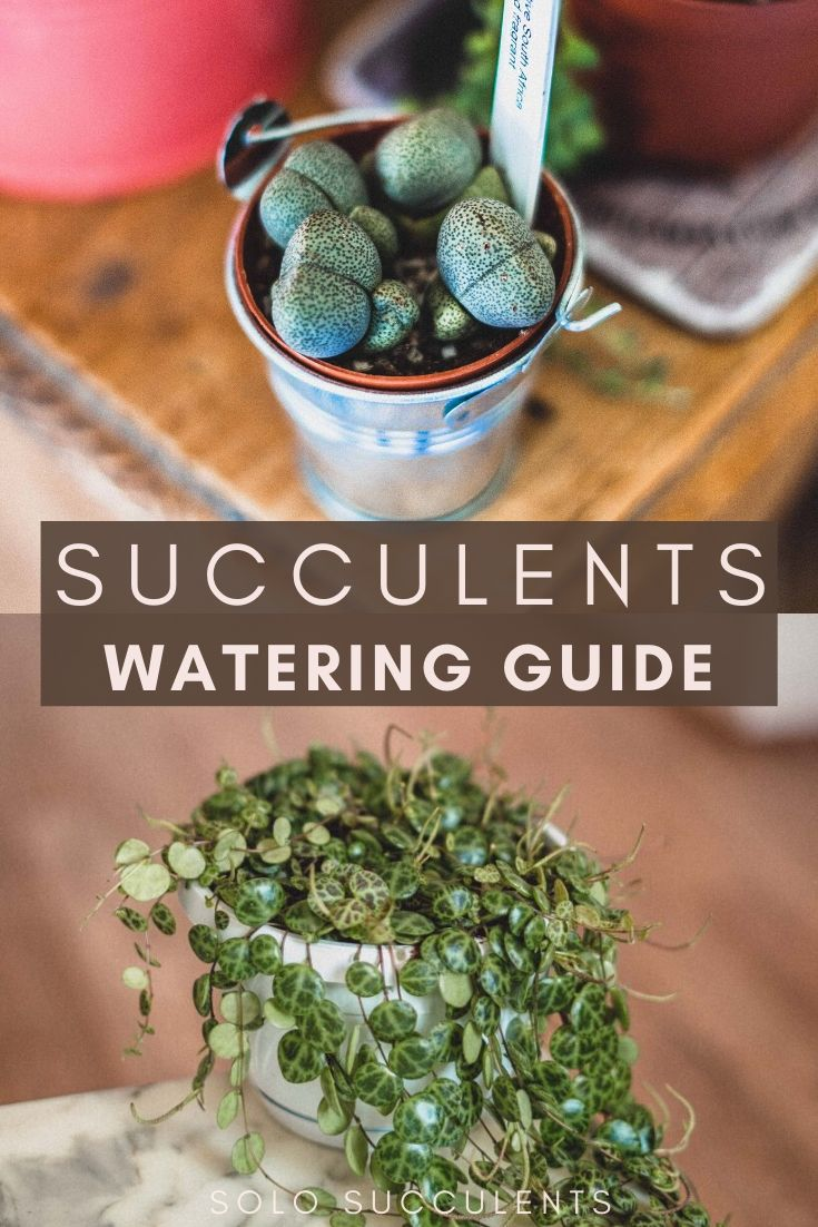 Keep your succulent plants alive! How to Water Succulent Plants (Care Tips & Tricks for healthy plants)