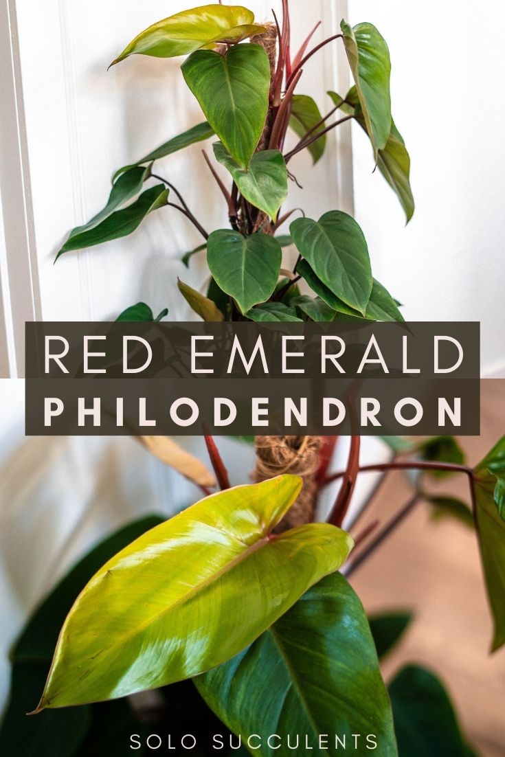 Red Emerald Philodendron Care Guide (Philodendron erubescens) Water and propagation guide for a philodendron