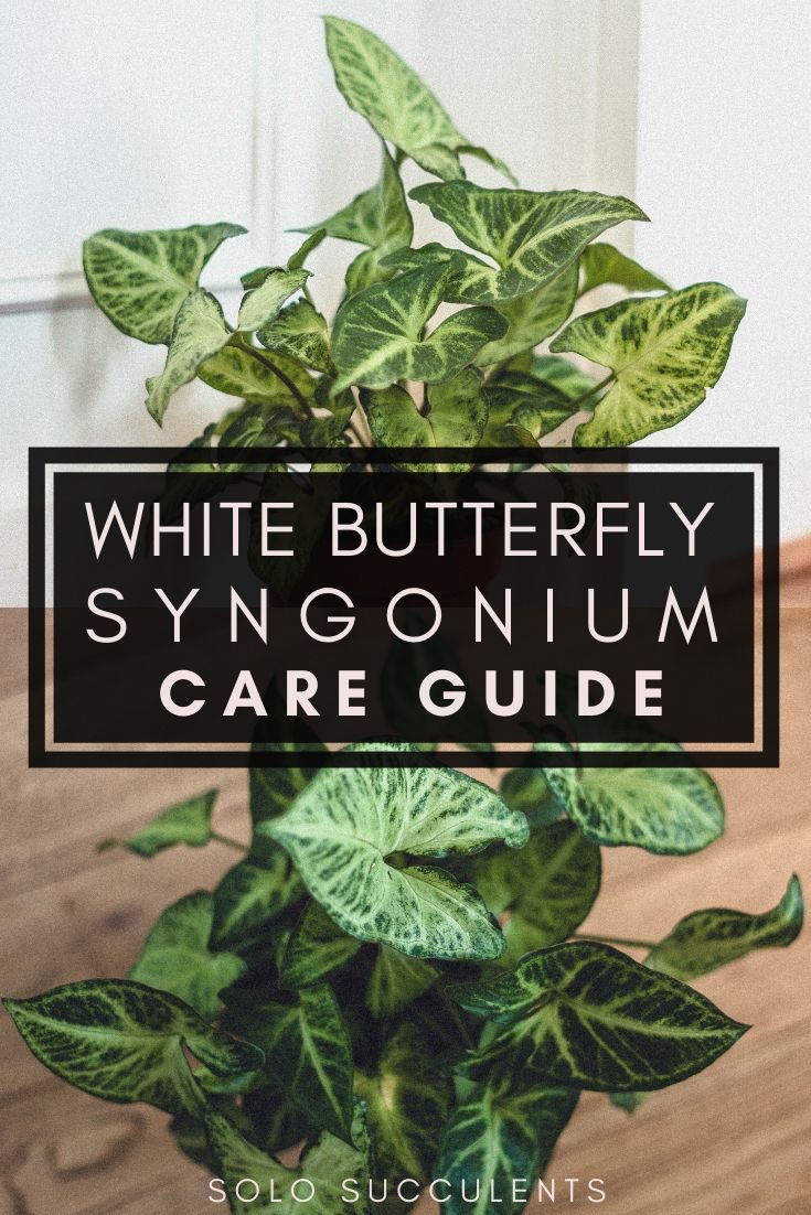 White Butterfly Syngonium Care Guide (Syngonium Podophyllum). Plant care tips and tricks for the white butterfly syngonium